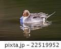 鳥類 鳥 カモの写真 22519952