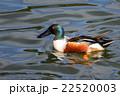 鳥類 鳥 カモの写真 22520003