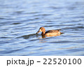 Female Tufted duck swimming on a lake in japan 22520100