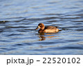 Female Tufted duck swimming on a lake in japan 22520102