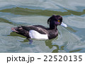 Tufted duck, Aythya fuligula, male in japan. 22520135