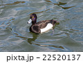 Tufted duck, Aythya fuligula, male in japan. 22520137