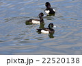 Tufted duck, Aythya fuligula, male in japan. 22520138