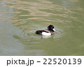 Tufted duck, Aythya fuligula, male in japan. 22520139