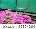 アジサイ あじさい 紫陽花 梅雨 初夏の花 植物 紫陽花の画像素材 写真素材 コピースペース 22524284