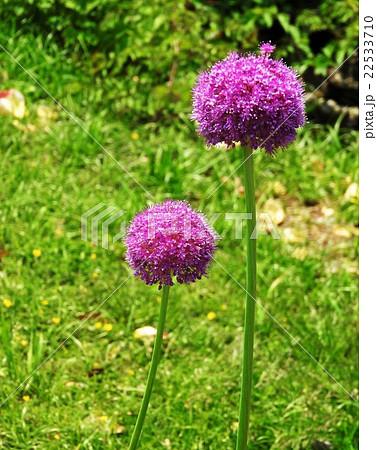 紫色のボール状の花でアリウム・ギガンチウムという名前。葱に似ていることから別名花葱というらしい。 22533710