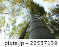 青空に伸びる竹林 22537139