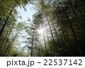 竹林と太陽 22537142
