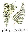 自然 シダ イラストのイラスト 22539766