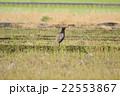 キジ 雉子 雉 国鳥 野鳥 鳥 鳥類 野生動物 農地 郊外 22553867