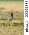 キジ 雉子 雉 国鳥 野鳥 鳥 鳥類 野生動物 農地 郊外 22553868
