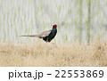 キジ 雉子 雉 国鳥 野鳥 鳥 鳥類 野生動物 農地 郊外 22553869
