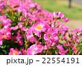 千葉県八千代市の京成バラ園 22554191