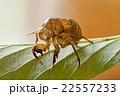蝉 蝉の抜け殻 昆虫の写真 22557233