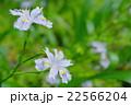 シャガの花 22566204