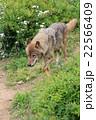 動物園の狼 22566409