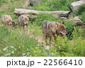 動物園の狼 22566410