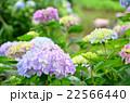 水辺に咲く紫陽花 22566440