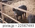 養豚 女性 22567493