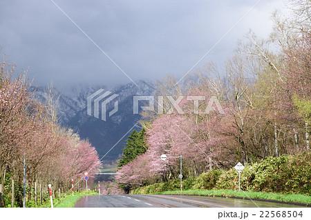 芦別岳と桜 22568504