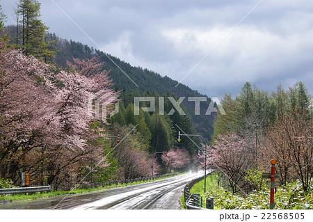 富良野の桜 22568505