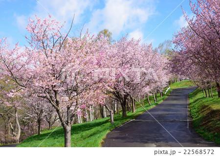芦別旭ヶ丘公園の桜 22568572