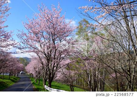 芦別旭ヶ丘公園の桜 22568577