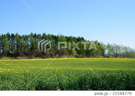 安平町の菜の花畑 22568770