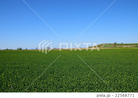 安平町の菜の花畑 22568771