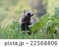 エゾタヌキ 動物 狸の写真 22568806