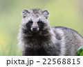 エゾタヌキ 動物 狸の写真 22568815