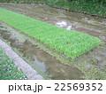 田んぼの苗 22569352
