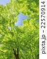 カエデの林の新緑 22570914