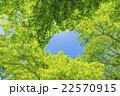カエデの林の新緑 22570915