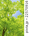 カエデの林の新緑 22570916