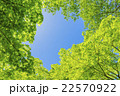 新緑 若葉 楓の写真 22570922