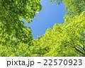 カエデの林の新緑 22570923