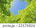 新緑 若葉 楓の写真 22570924