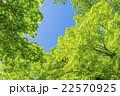 カエデの林の新緑 22570925