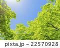 新緑 若葉 楓の写真 22570928
