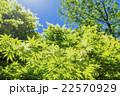カエデの林の新緑 22570929