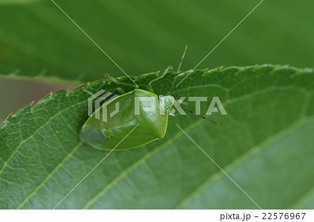 生き物 昆虫 ツヤアオカメムシ、艶のある鮮やかな緑一色のカメムシ 22576967