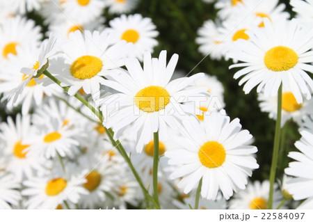 マーガレットの花達 22584097