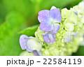 雨に濡れた紫陽花 22584119