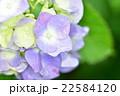 雨の日の紫陽花 22584120