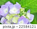花 植物 クローズアップの写真 22584121