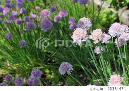 チャイブの可憐な花 22584474