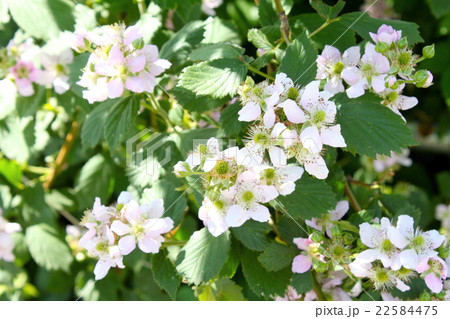 木イチゴの花、爛漫 22584475