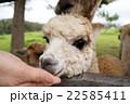 アルパカ 餌やり オーストラリア 22585411
