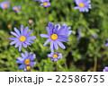 青紫の花(アスター) 22586755